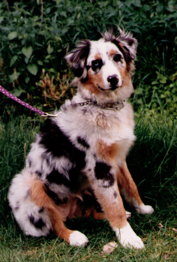 Portrait of an Aussie as a Young Dog